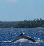 """Vortrag """"Mit allen Wassern gewaschen"""" - Buckelwal in Tonga"""